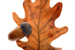 Acorn leaf and fruit Royalty Free Stock Photography