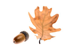 Acorn leaf and fruit Royalty Free Stock Photo
