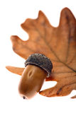 Acorn leaf and fruit Royalty Free Stock Images
