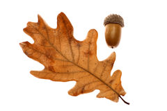 Acorn leaf and fruit Stock Photography