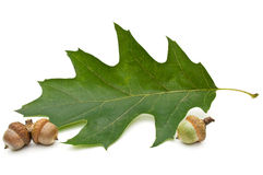 Acorn and leaf of oak. Stock Photo