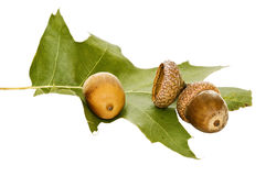 Acorn and leaf of oak. Royalty Free Stock Photo