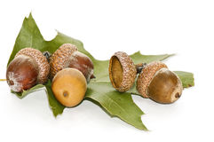Acorn and leaf of oak. Stock Images