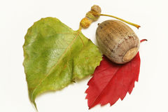 Acorn and leaves Royalty Free Stock Photography