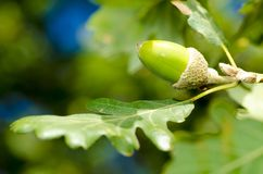 Acorn and leaves Stock Images