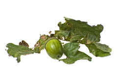 acorn liść Obraz Stock