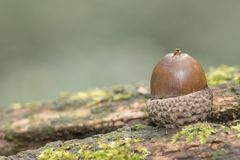 An acorn on a log stock photo