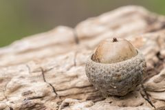 An acorn on a log stock photography