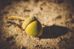 Acorn lying on the ground close-up Stock Photos