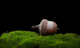 Acorn on moss. Macro of one oak acorn Quercus on moss hillock on forest floor isolated on black Royalty Free Stock Images