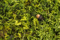 Acorn on the moss Royalty Free Stock Photo