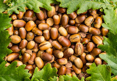 Acorn Nuts Royalty Free Stock Images