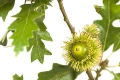 Acorn on oak branch Stock Images