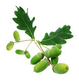 Acorn oak isolated Stock Photo