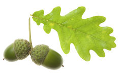 Acorn with an oak leaf Royalty Free Stock Images