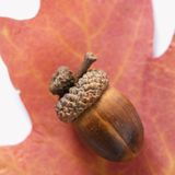 Acorn on oak leaf. Stock Photo