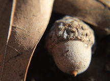 Acorn and oak leaf closeup with textures Stock Photography