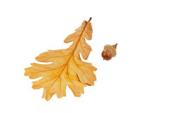Acorn and oak leaf Stock Photos