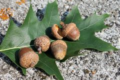 Acorn and oak leaf marsh Royalty Free Stock Images