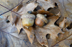 Acorn oak leaf pair autumn fall. Pair of acorns nestled in brown autumn fall oak leaves Royalty Free Stock Photos