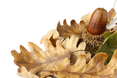 Acorn and oak leaves Stock Image
