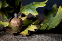 Acorn with Oak Leaves Stock Photo