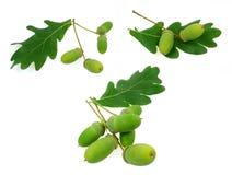 Acorn oak set Stock Photography