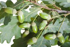 Acorn oak tree Stock Image