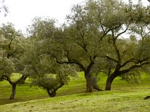 Oak Trees. Acorn Oak trees for Jamon pigs. Huelva, Spain Royalty Free Stock Photos