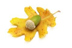 acorn odizolowywał Fotografia Stock