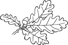 Acorn Plant. Simple black and white line drawing of acorns and leaves Stock Images