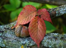 Acorn with Red Leaves Stock Images