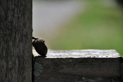 Acorn. Rustic abstract of an acorn Stock Image