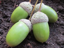 Acorn Seeds. Royalty Free Stock Images