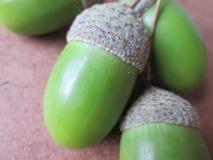 Acorn Seeds. Stock Photo