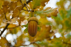 Acorn. Single acorn on the tree branch Stock Images