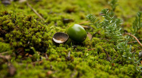 Acorn. Small Acorn on Moss in Forest Royalty Free Stock Photography