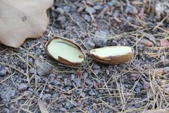 Acorn split into two parts on small stones stock photo