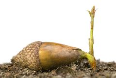 Acorn sprouting. Acorn seed sprouting with white background royalty free stock image