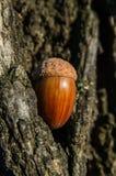 Acorn to oak bark. Closeup Stock Photo