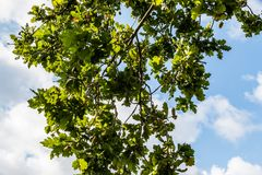 Acorn tree with acorns growing. With blue sky and white fluffy clouds Stock Images