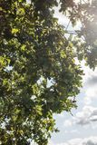 Acorn tree with acorns growing. Blue sky white clouds Royalty Free Stock Images