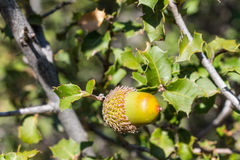 Acorn among tree leaves Royalty Free Stock Photos