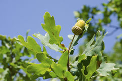 Acorn on a tree surrounded leaves. Acorn on a tree surrounded by maple leaves Royalty Free Stock Photos