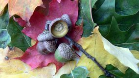 Acorn on vibrant leaves Stock Photo