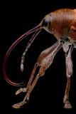 Acorn weevil (Curculio glandium) stock photo