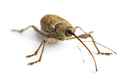 Acorn weevil, Curculio glandium, isolated Stock Images