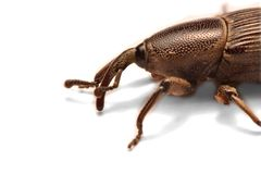 Acorn weevil, Curculio glandium, isolated on whiteA little blac. Acorn weevil, Curculio glandium, isolated on white A little black weevil waiting alone for a royalty free stock image