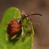 Acorn weevil (Curculio glandium) royalty free stock photos