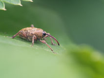 Acorn weevil - Curculio glandium stock photo